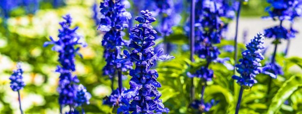 Blue Salvia Symbolizes