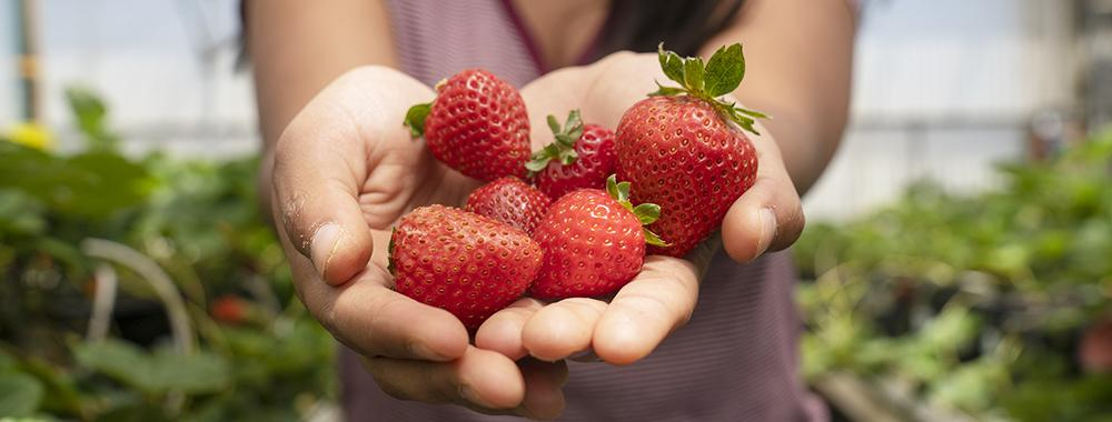 woman holding a handful of strawberries