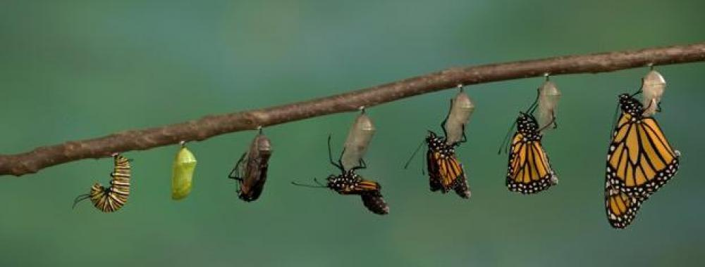 transition process from caterpillar to butterfly